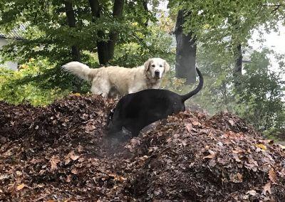 Weißer und schwarzer Hund auf einem großen dampfenden Laubhaufen